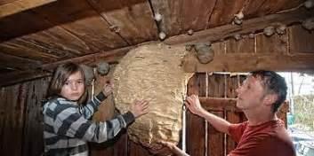 hornissennest im haus hornissennest lauter flugl 228 rm in der scheune k 246 lnische