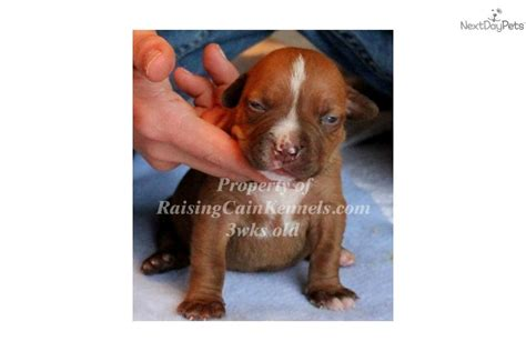 pitbull puppies for sale in dallas ofrn for sale breeds picture