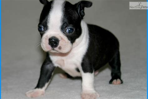 boston terrier puppies for sale in ms ian akc chion pedigreed