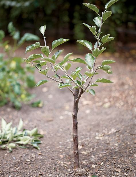 pruning fruit tree create small fruit trees with this pruning method