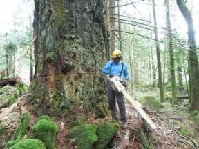 bad ax saws cutting a fir tree daily content
