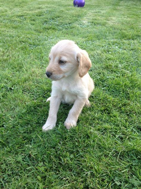 labradoodles puppies for sale hshire miniature f1b labradoodle nantwich cheshire pets4homes