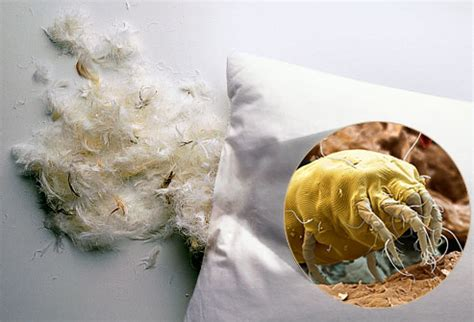 Dust Mites On Pillows by Sleeping With Your Enemies Dust Mites On Your Pillow