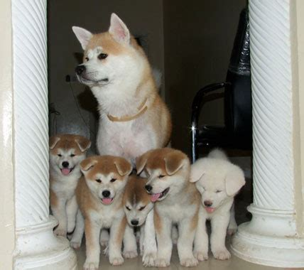 gambar anjing ras foto anak anjing lucu apps directories