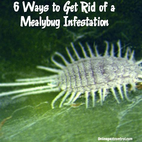 6 ways to get your 6 ways to get rid of mealybugs on your plants