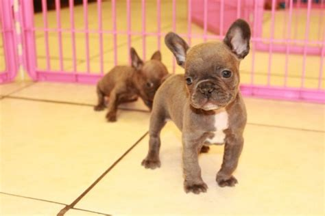 puppies for sale in macon ga beautiful bulldogs puppies for sale in at atlanta columbus johns