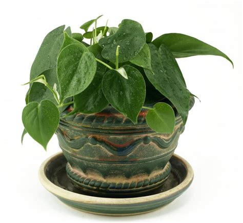 common hanging house plants
