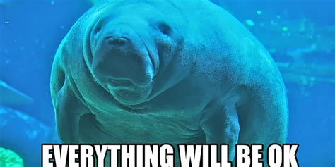 manatee meme don t panic calming manatees are here to help the daily dot