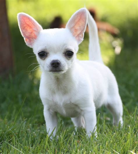 My Chihuahua Fidel Sun by White Chihuahua Looks Like My Sugar Puppy