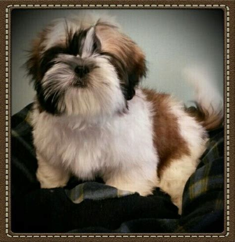 best brush for shih tzu 134 best images about shih tzu on show westminster show and image