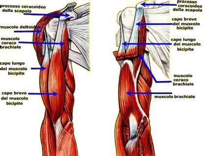 dolore interno spalla 17 migliori idee su sistema muscolare su
