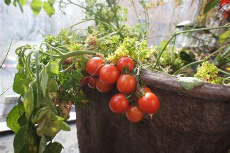 pomodorini in vaso pomodori sul balcone orto in balcone coltivare