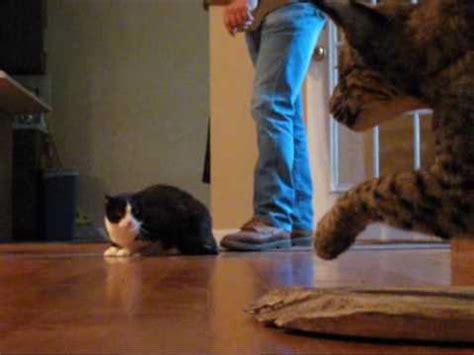 bobcat vs domestic cat images house cat vs bobcat youtube