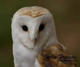 barn owl barn owl amaxing