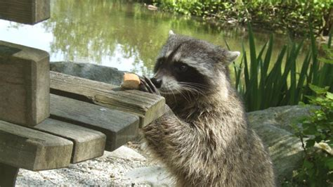 what to do if a raccoon is in your backyard what do raccoons eat in the wild reference com