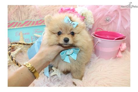 teacup pomeranian boo for sale boo the pom puppy boo a pomeranian puppy for sale for 550