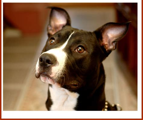 puppy proofing pitbull puppy tips proofing your home