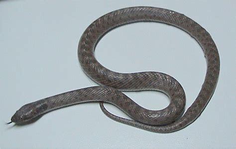 Night snake   Wikipedia