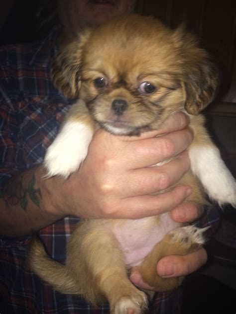 shih tzu hull healthy adorable shih tzu puppy hull east of pets4homes