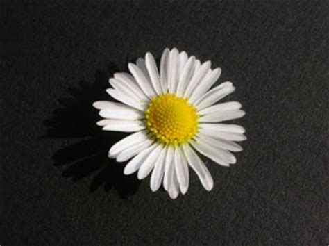 daisy facts what is a daisy facts about all