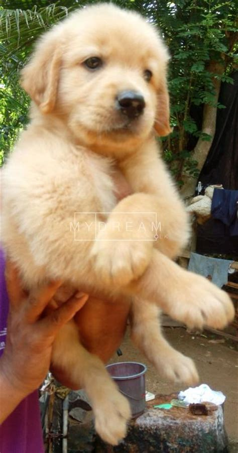 golden retriever puppies for sale in sri lanka golden retriever puppies animals kandy mydream lk