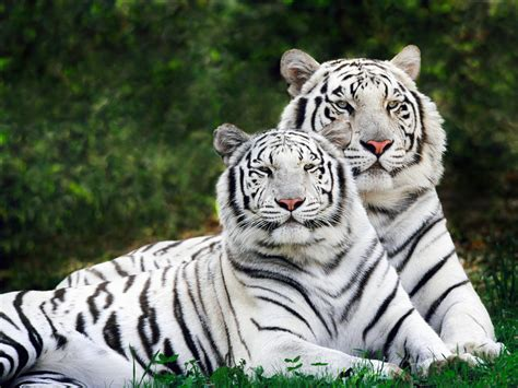 haiwan terancam  berwarna putih permata dunia