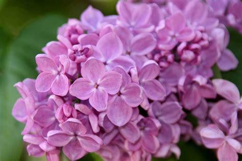 foto dei fiori fiori lill 224 fiori delle piante
