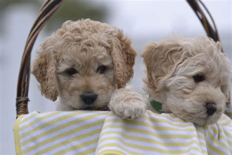 goldendoodle puppies for sale in ri lighthouse labradoodles