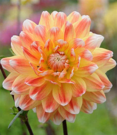 Gardenia Zuniga Dahlia And