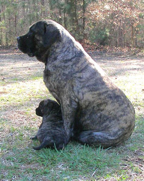 Mastiff puppies for sale from mastiff breeders dog breeds picture