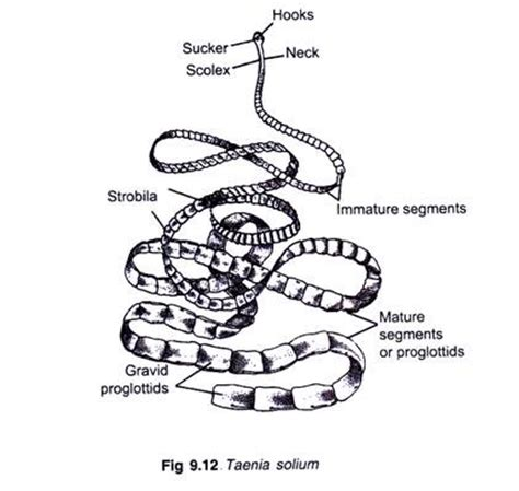 the structure and cycle of taenia with diagram