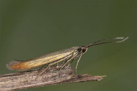 büchner beleuchtung bestimmungshilfe des lepiforums coleophora trifolii