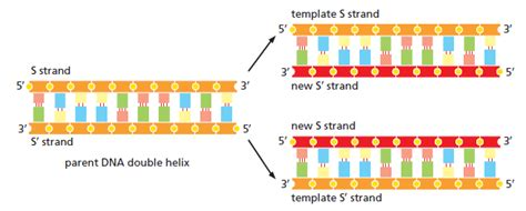 Dna Replication Of Prokaryotes What Acts As The Template In Dna Replication