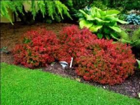 berberis thunbergii admiration new garden at number 10