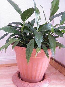 pflanzen die keine sonne brauchen licht aber keine sonne f 252 r pflanzen meinhaushalt at