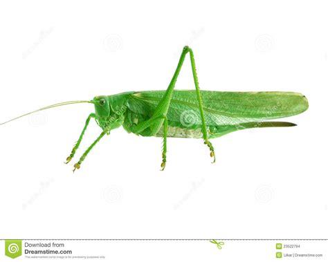imagenes de saltamontes verdes saltamontes verde imagenes de archivo imagen 23522794