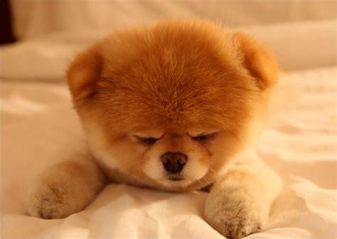 teddy cut pomeranian picture with teddy cut pomeranian newhairstylesformen2014