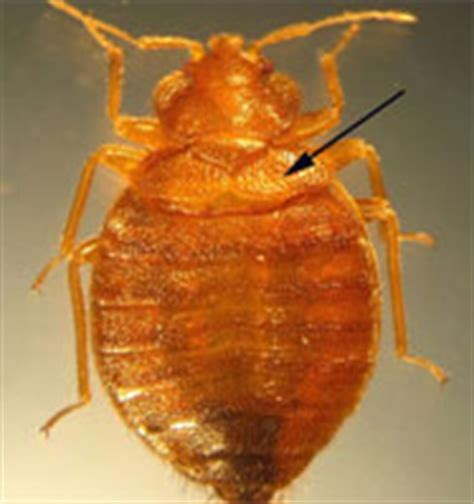 how long do bed bugs live without blood bed bugs information cover protect