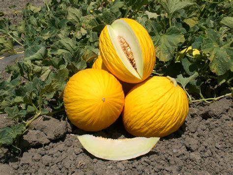 coltivare meloni in vaso giardinaggio coltivare meloni 232 facile