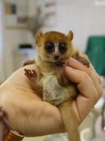 ourclasspages mouse lemur katherine connor