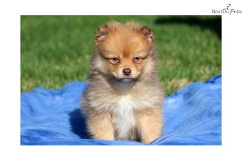 pomeranian paws paws pomeranian puppy for sale near lancaster pennsylvania af29323b 9eb1