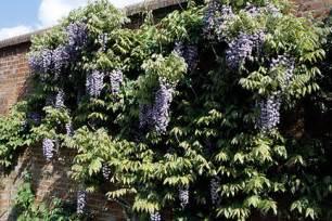 Fast Climbing Evergreen Plants - climbers and wall shrubs rhs gardening