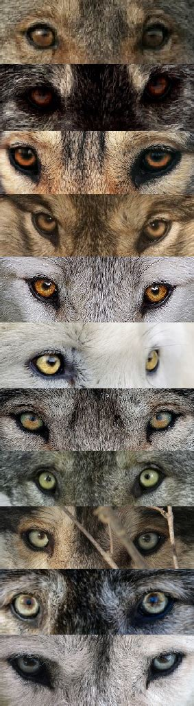 wolf colors source wolves wolves can colors