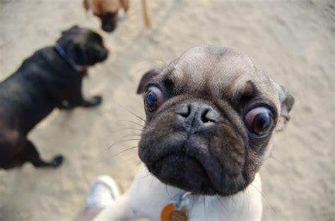 perros pug image gallery perro carlino