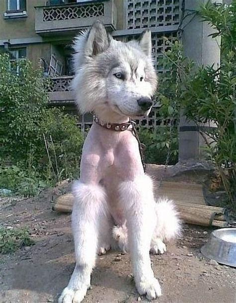 10 dog haircuts gone wrong photos ten dogs with bad haircuts