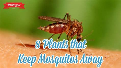 plants to keep mosquitoes away 8 plants that keep mosquitoes away msprepper