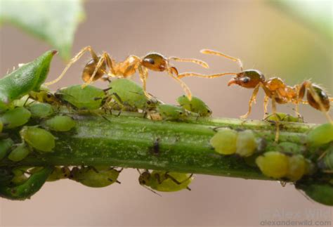 do ants eat aphids ants are destroying your plants by nurturing aphid