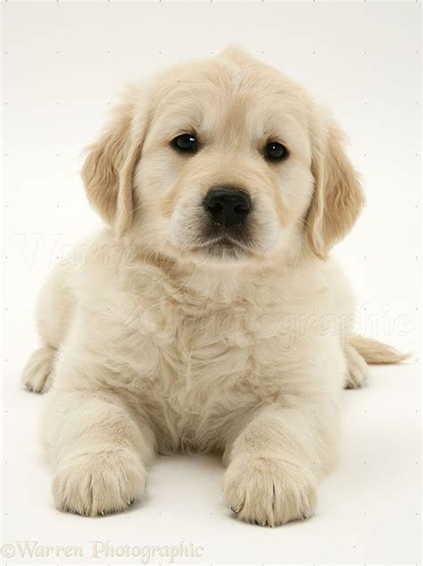 retriever puppy 25 best ideas about labrador puppies on labrador puppies lab