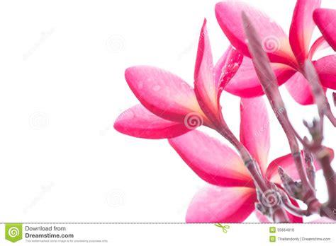 Bunga Plumeria Frangipani Pink Marine pink frangipani plumeria thai flower stock photo image