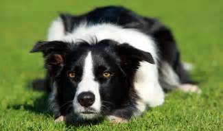 Collie Dogs And Puppies Related Keywords Amp Suggestions Collie Dogs » Ideas Home Design